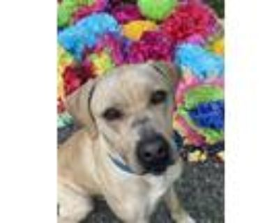 Adopt RILEY a Yellow Labrador Retriever, Pit Bull Terrier