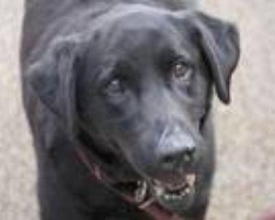 Adopt GLENDA a Labrador Retriever