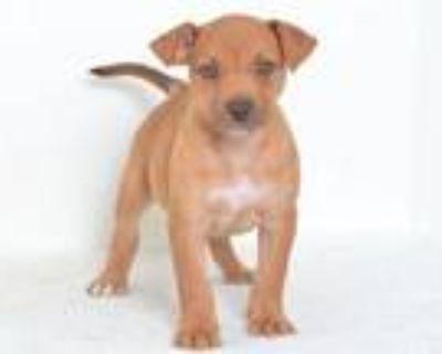 Adopt A591450 a Labrador Retriever, Catahoula Leopard Dog