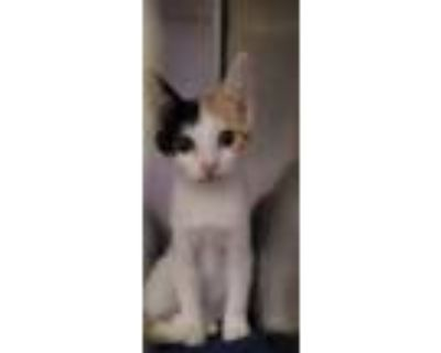 Adopt 48304130 a White Domestic Shorthair / Mixed cat in El Paso, TX (32067419)