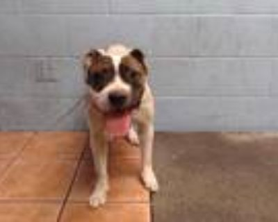 Adopt LYLA a White American Pit Bull Terrier / Mixed dog in Downey