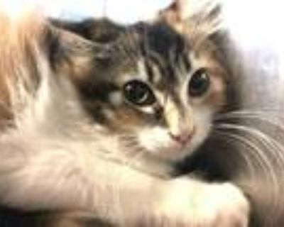 Adopt Harp a White Domestic Longhair / Domestic Shorthair / Mixed cat in Palm