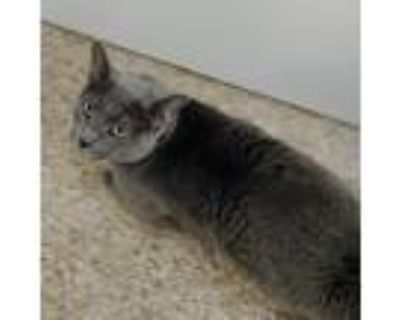 Adopt Small Fry a Gray or Blue Russian Blue / Mixed cat in Tempe, AZ (31557979)