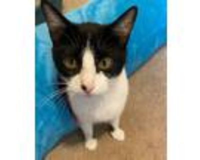 Adopt Lily a Black & White or Tuxedo Domestic Shorthair / Mixed cat in Bossier
