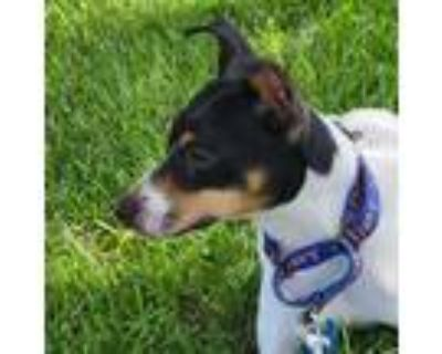 Adopt Hanson a Black Rat Terrier / Mixed dog in Raytown, MO (31629437)