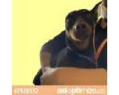 Adopt 47928312 a White Miniature Pinscher / Mixed dog in El Paso, TX (31519435)