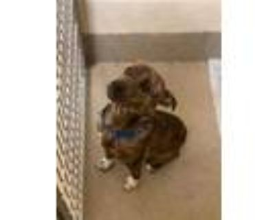 Adopt Eagle a Brown/Chocolate American Pit Bull Terrier / Mixed dog in Newport