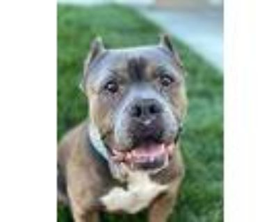 Jojo!, American Pit Bull Terrier For Adoption In Citrus Heights, California