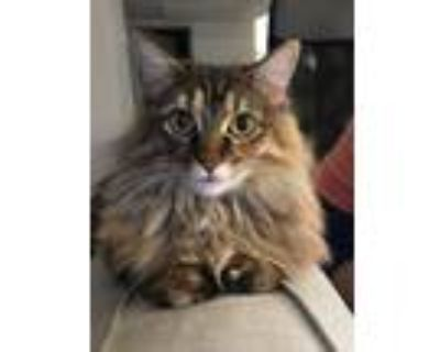 Adopt Frankie a Brown or Chocolate (Mostly) Norwegian Forest Cat / Mixed cat in