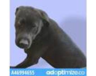 Adopt 46994655 a Black Labrador Retriever / Mixed dog in El Paso, TX (31526035)