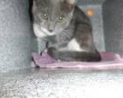 Adopt SMOCK a Gray or Blue (Mostly) Domestic Shorthair / Mixed (short coat) cat