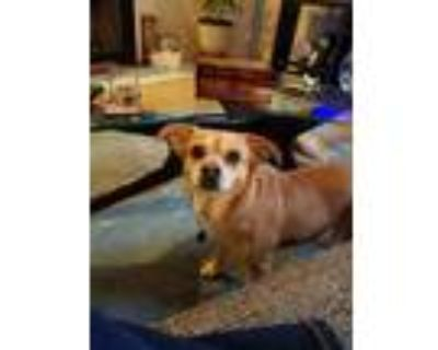 Adopt Bailey a Tan/Yellow/Fawn Terrier (Unknown Type, Small) / Mixed dog in