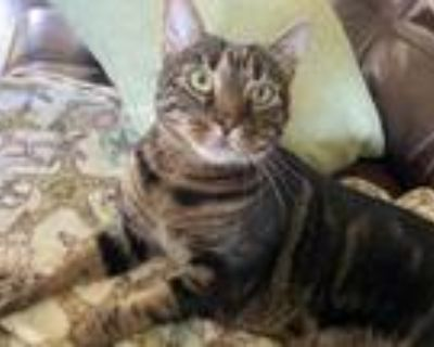 Adopt Percy a Brown Tabby American Shorthair / Mixed (short coat) cat in