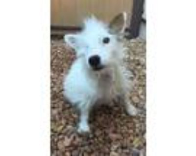 Adopt Penny a Terrier