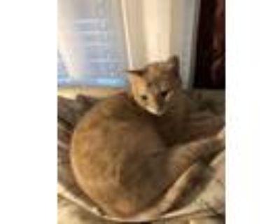 Adopt Pixie a Orange or Red Domestic Shorthair / Mixed (medium coat) cat in