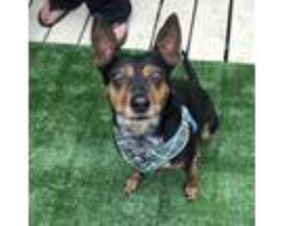 Adopt Molly a Miniature Pinscher, Jack Russell Terrier