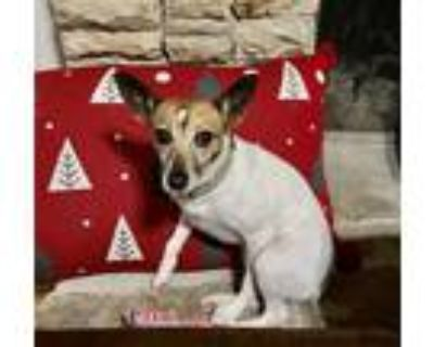 Adopt Travi a Brown/Chocolate - with White Rat Terrier / Mixed dog in