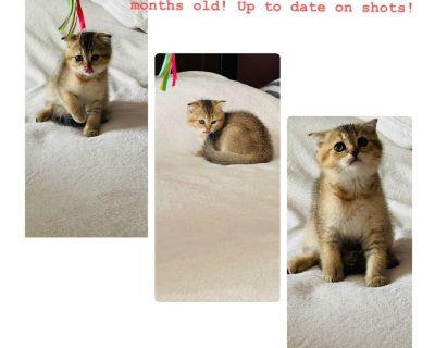 Scottish fold pure breed