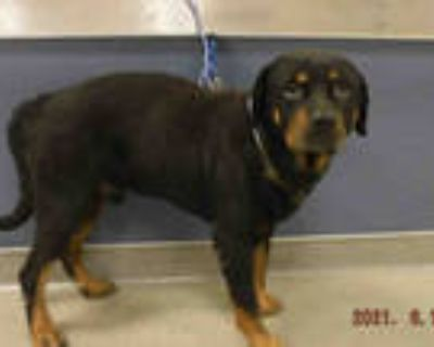 Adopt SPENCER a Black - with Tan, Yellow or Fawn Rottweiler / Mixed dog in