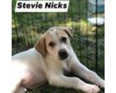 Adopt Stevie Nicks a White - with Tan, Yellow or Fawn Great Pyrenees / Labrador