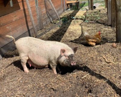 Pregnant Mini pig for re-homing