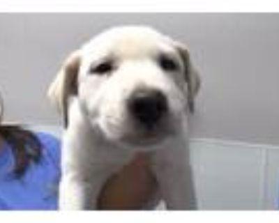Adopt STAN a Collie, Australian Cattle Dog / Blue Heeler
