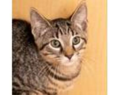 Adopt Akemi a Brown or Chocolate Domestic Shorthair / Mixed cat in Washington