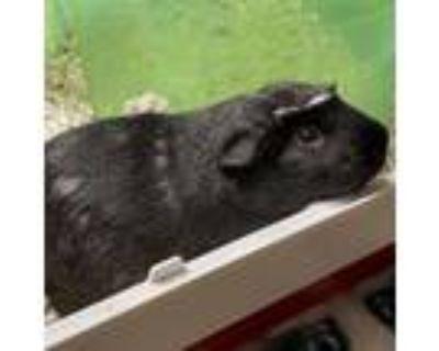 Adopt Sputnik a Guinea Pig