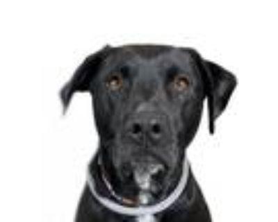 Adopt Tater a Black Labrador Retriever / Mixed dog in Reno, NV (31386522)