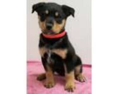 Adopt Nellie a Rottweiler, Mixed Breed