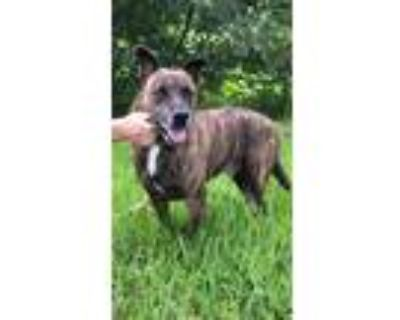 Adopt Ryder a Labrador Retriever / Staffordshire Bull Terrier / Mixed dog in