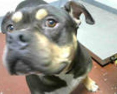 Adopt NOVEMBER a Black - with Tan, Yellow or Fawn American Pit Bull Terrier /