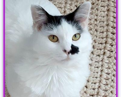 3yo domestic shorthair 'Jazzy' for sale/ adoption