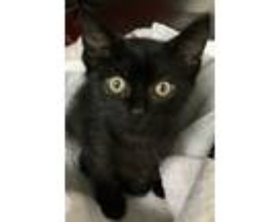 Adopt Leopold a Black (Mostly) Domestic Shorthair (short coat) cat in Loudon