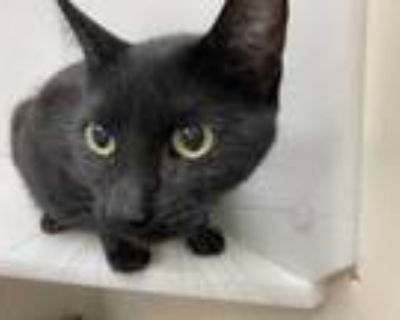 Adopt Gypsy Rose a All Black Domestic Shorthair / Mixed cat in Boulder
