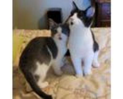 Adopt Odin and Violet a American Shorthair