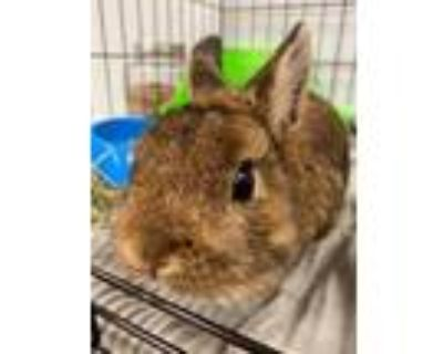 Adopt Martin a Sable Netherland Dwarf / Mixed rabbit in Mooresville
