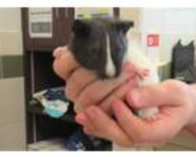 Adopt *G PIG 4 a White Guinea Pig / Mixed small animal in Derwood, MD (31616001)