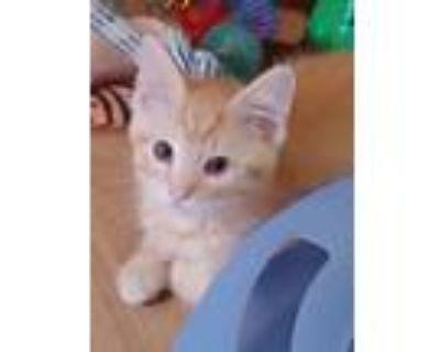 Adopt Loki's Kittens a Siamese, Domestic Short Hair