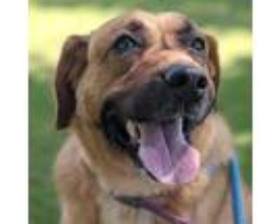 Adopt Oma a Brown/Chocolate Retriever (Unknown Type) / Mixed dog in Norfolk