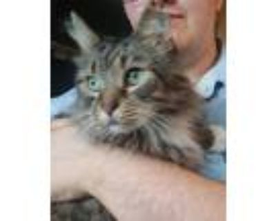 Adopt Edgar-- special diet a Gray, Blue or Silver Tabby Maine Coon (long coat)