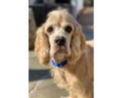 Adopt Alfie a Tan/Yellow/Fawn Cocker Spaniel / Mixed dog in Vienna