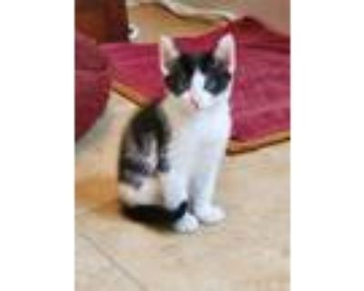 Adopt Linguine a Spotted Tabby/Leopard Spotted Domestic Shorthair cat in Smyrna