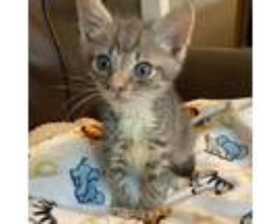 Adopt Jack a Gray or Blue Domestic Shorthair / Mixed cat in Newport News