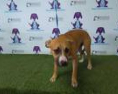 Adopt LITTLE a Tan/Yellow/Fawn American Pit Bull Terrier / Mixed dog in Orlando