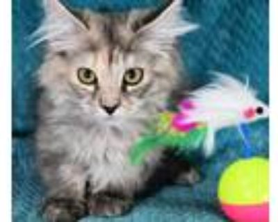 Adopt Cookie a Gray or Blue Domestic Longhair / Domestic Shorthair / Mixed cat