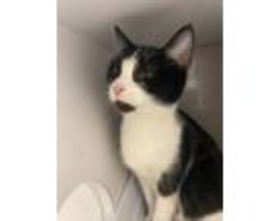 Adopt Ostrich a Domestic Short Hair