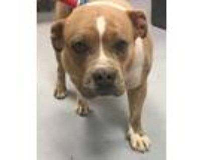 Adopt 46964727 a Tan/Yellow/Fawn American Pit Bull Terrier / Mixed dog in Los