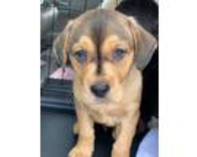 Adopt Severide a Tan/Yellow/Fawn - with Black Labrador Retriever / Mountain Cur