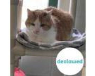 Adopt Moses a Orange or Red Domestic Shorthair / Domestic Shorthair / Mixed